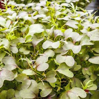 Микрозелень Капуста японская Мизуна изображение 8