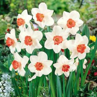 Нарцисс крупноцветковый Пинк Шарм изображение 4