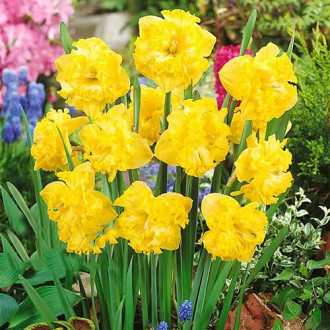 Нарцисс сплит-корона Флайер изображение 7