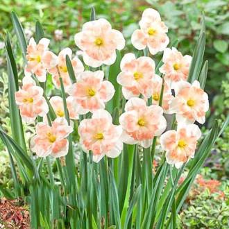 Нарцисс сплит-корона Пинк Вандер изображение 6