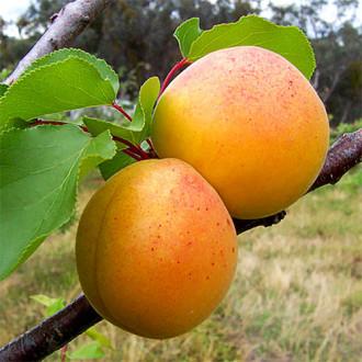 Персик-абрикос Медовый месяц изображение 8