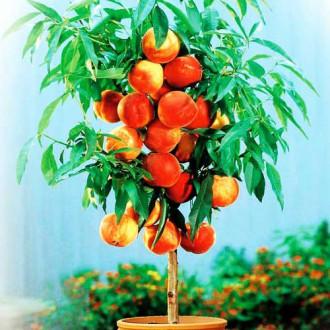 Персик колоновидный Золотой триумф изображение 8