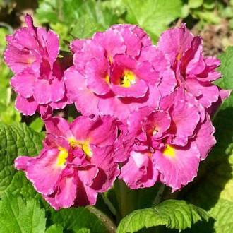 Примула махровая Розанна розовая F1 изображение 2