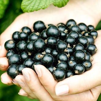 Смородина черная Рубен изображение 8