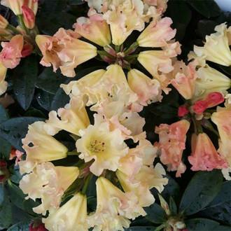 Рододендрон Саффрано изображение 8