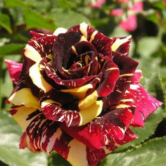 Роза чайно-гибридная Абракадабра изображение 8