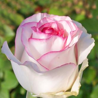 Роза чайно-гибридная Дольче Вита изображение 6