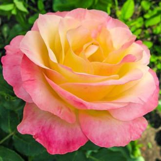 Роза чайно-гибридная Глория Дей изображение 7