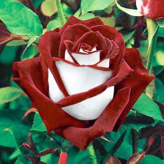 Роза чайно-гибридная Осирия изображение 7