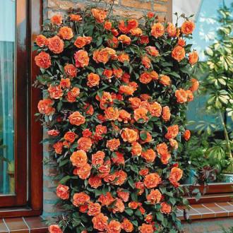 Роза плетистая Оранжевая изображение 3