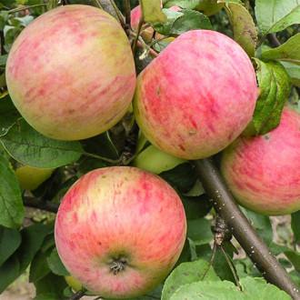Яблоня Антоновка десертная изображение 1