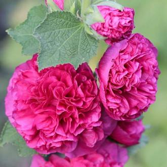 Шток-роза Мажоретта Розовая изображение 8