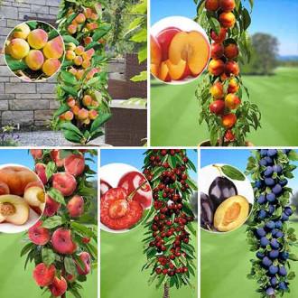 Суперпредложение! Комплект колоновидных деревьев Любимые фрукты из 5 саженцев