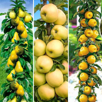 Суперпредложение! Комплект колоновидных деревьев Осенняя удача из 3 саженцев изображение 8