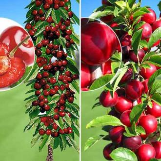 Суперпредложение! Комплект колоновидных деревьев Урожайная парочка из 2 саженцев изображение 1