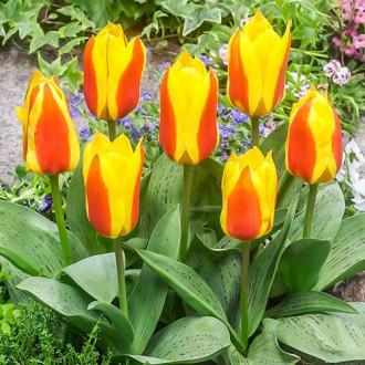 Тюльпан Грейга Бон Бини изображение 7