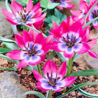 Тюльпан ботанический Литтл Бьюти изображение 2