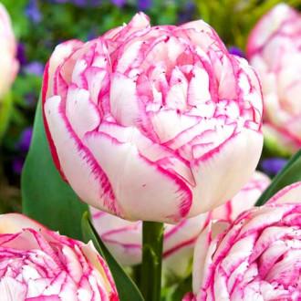 Тюльпан махровый Дабл Тач изображение 6