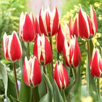Тюльпан Триумф Спринг Сюрпрайз изображение 5