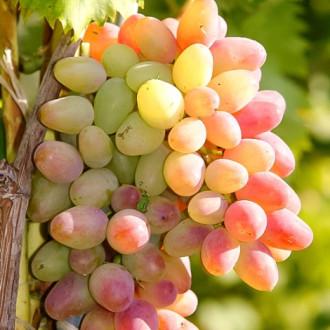 Виноград Арочный изображение 8