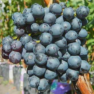 Виноград Кишмиш черный