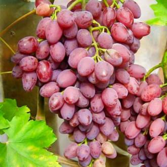 Виноград кишмиш Лучистый изображение 6