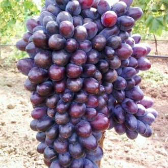 Виноград кишмиш Юпитер изображение 7