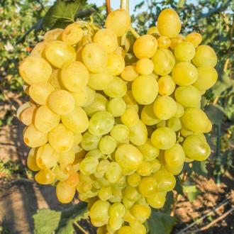 Виноград Супер Экстра изображение 8