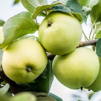 Яблоня Белый налив изображение 3