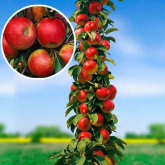 Яблоня колоновидная Арбат изображение 8