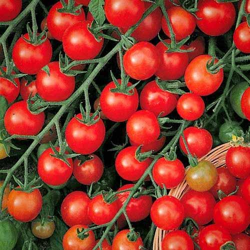 Томат Сладкая гроздь изображение 1 артикул 65180