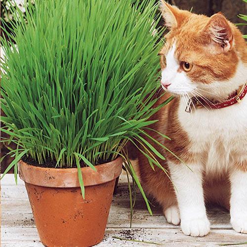 Трава для кошек Скакун изображение 1 артикул 65066