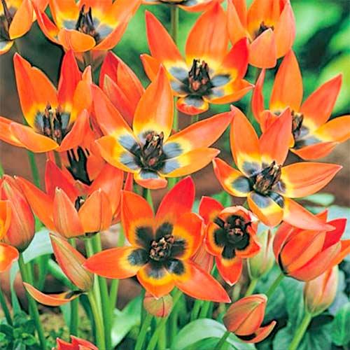 Тюльпан ботанический Литтл Принцесс изображение 1 артикул 70295
