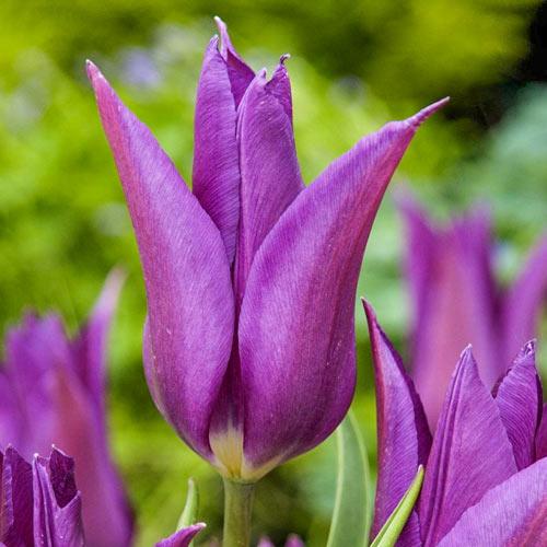 Тюльпан лилиецветный Пурпл Дрим изображение 1 артикул 67480