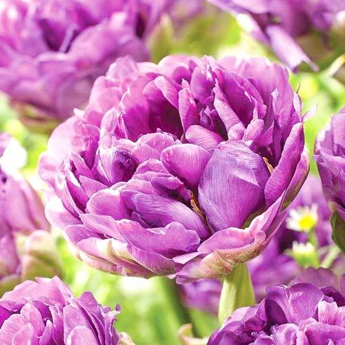 Тюльпан махровый Лилак Перфекшн изображение 1 артикул 67460
