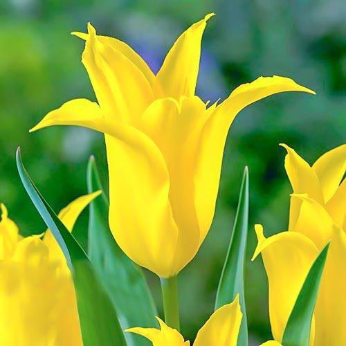 Тюльпан зеленоцветный Дансинг Шоу изображение 1 артикул 67513