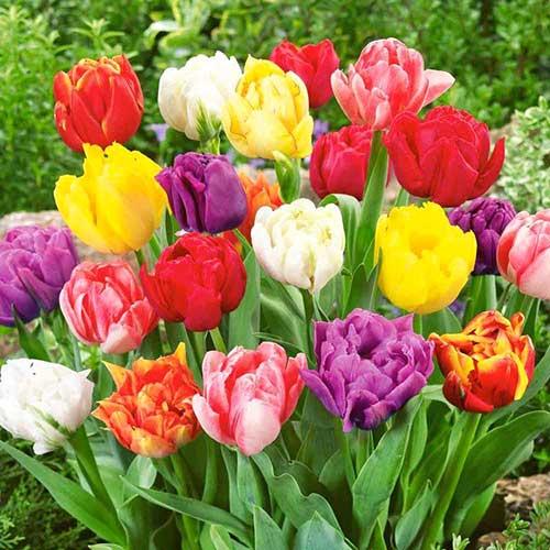 Тюльпаны махровые, микс