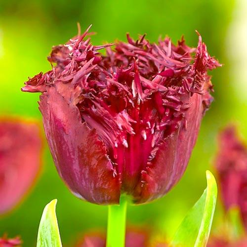 Тюльпан бахромчатый Лабрадор изображение 1 артикул 68028