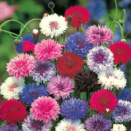 Василек махровый Разноцветные шары, смесь окрасок изображение 1 артикул 65820