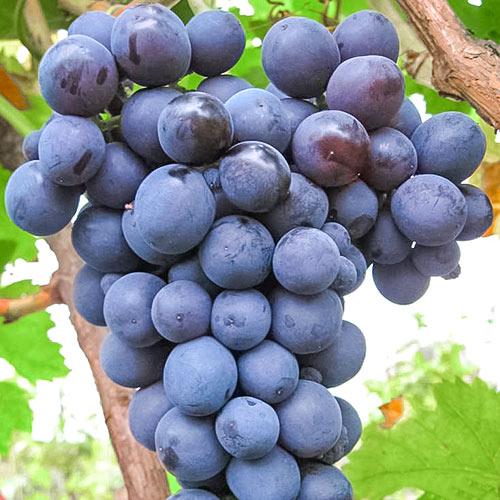 Виноград Агат Донской изображение 1 артикул 7348