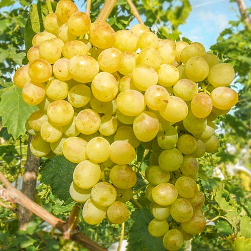 Виноград Белый ранний изображение 1 артикул 7351