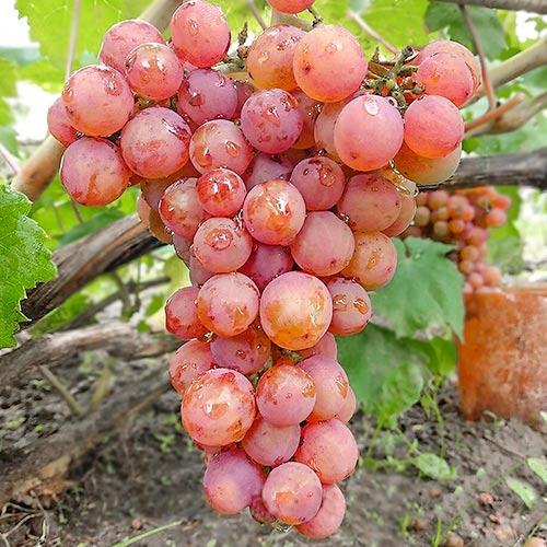 Виноград Кишмиш красный изображение 1 артикул 7313