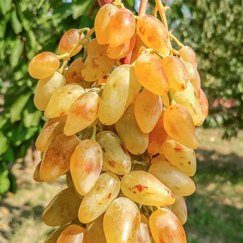 Виноград Леди Патриция изображение 1 артикул 7319