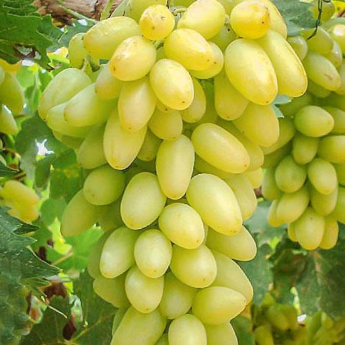 Виноград Тимур изображение 1 артикул 7358