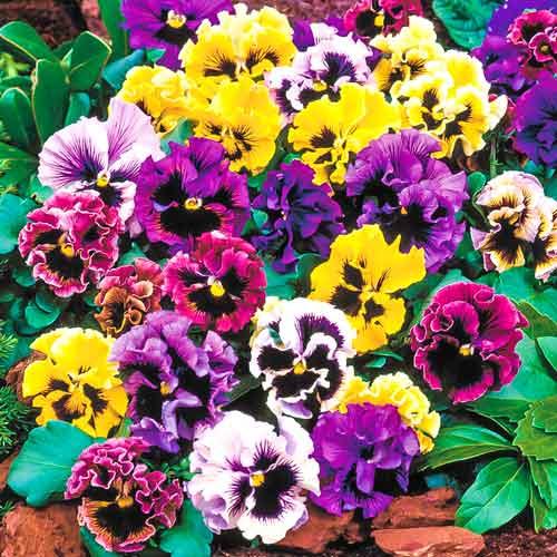 Виола (анютины глазки) Фламенко, смесь окрасок изображение 1 артикул 83156