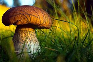 Экологически чистые грибы из вашего огорода