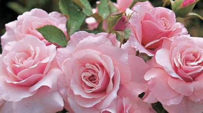Сорт розы флорибунда
