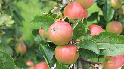 Чем подкормить яблоню весной, летом и осенью