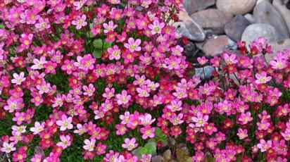 Камнеломка – виды и сорта цветущей на камнях прелестницы