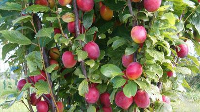 Картинки по Ðапросу плодовые деревья